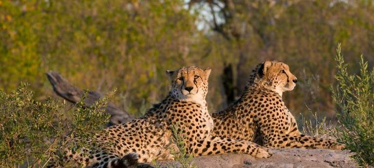 Watching a cheetah on an African Safari in Botswana with Zarafa Camp