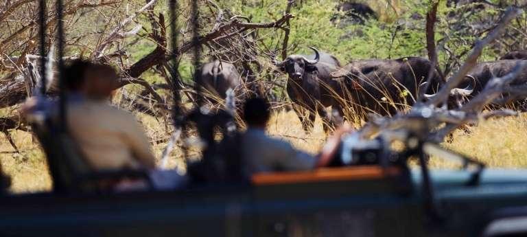 Xakanaxa Camp Buffalo in Okavango Delta, Botswana