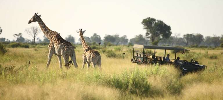 Watching giraffes on an african game drive safari at Sandibe Okavango Safari Lodge, Okavango Delta, Botswana