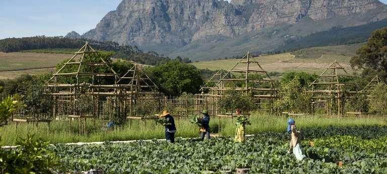 Picking vegetables for restaurant with view of simonsberg, Franschhoek, South Africa