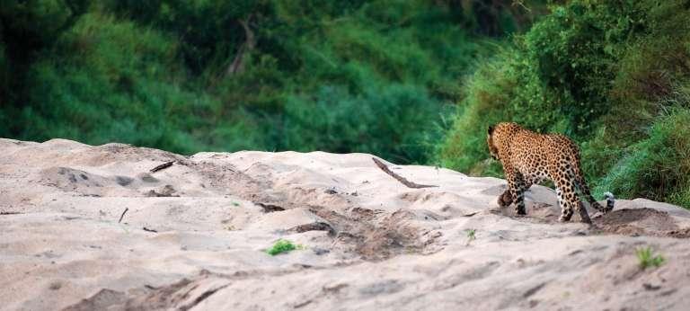 Big Cat safari in the Kruger National Park