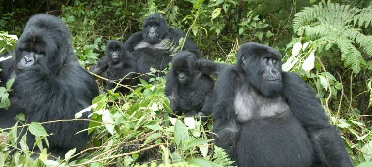Gorillas at Governor's Camp Sabyinyo Silverback Lodge