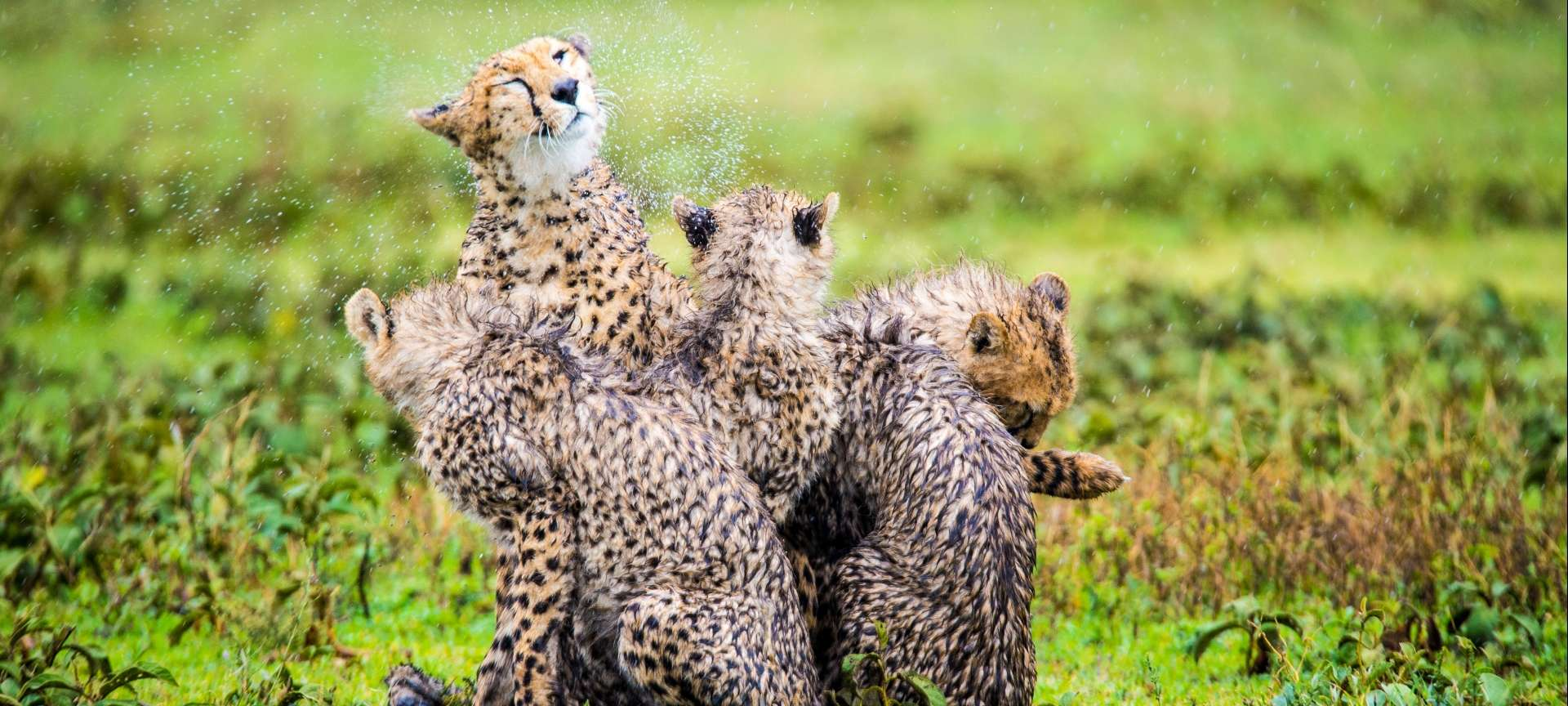 Cheetah play during a brief thunderstorm