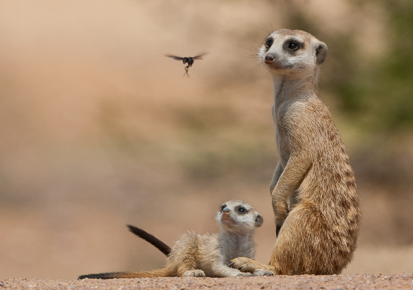 A hornet flies past a pair of meerkats in the Kalahari, Botswana
