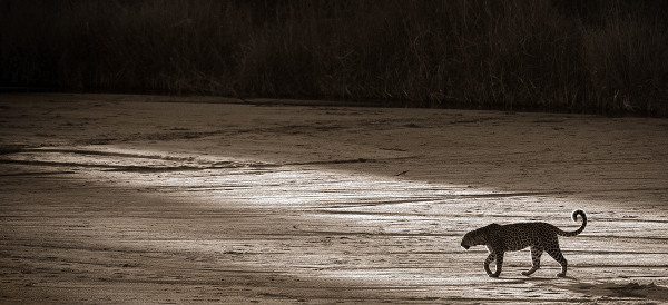 A leopard on a afternoon stalk in South Luangwa, Zambia