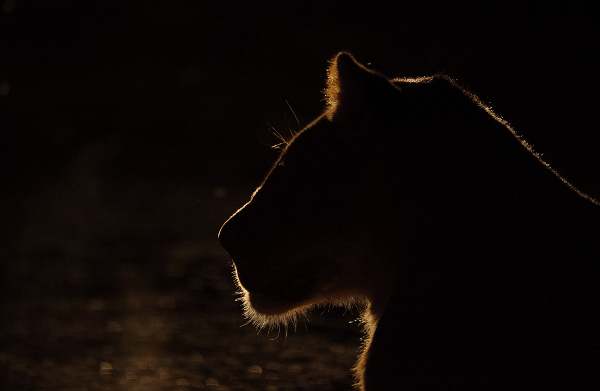 Light outlines the profile of a lioness in the evening