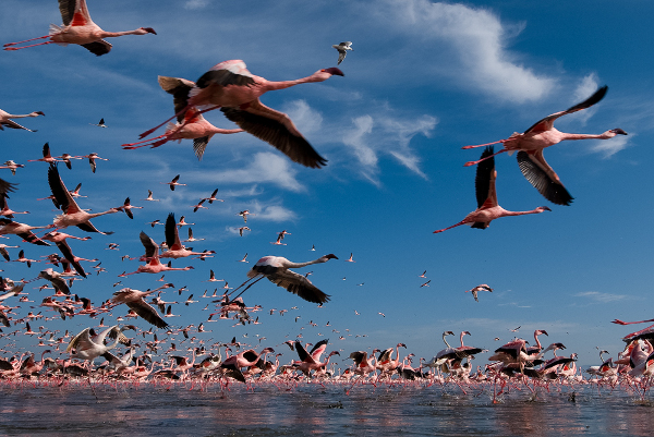 Flamingoes fly over the shores of Lake Nakuru