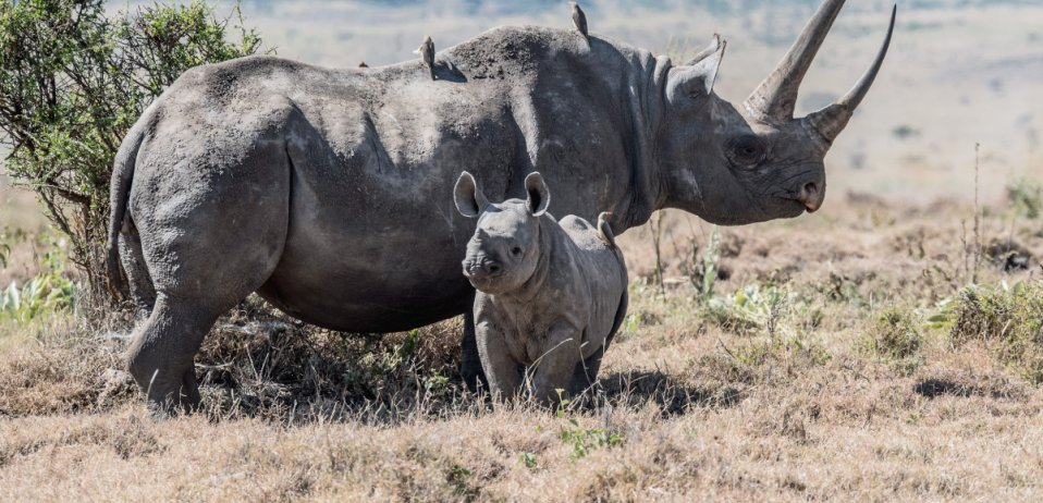 rhino and calf in the kruger national park