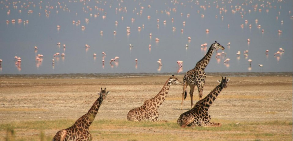 giraffe and flamingos in lake manyara