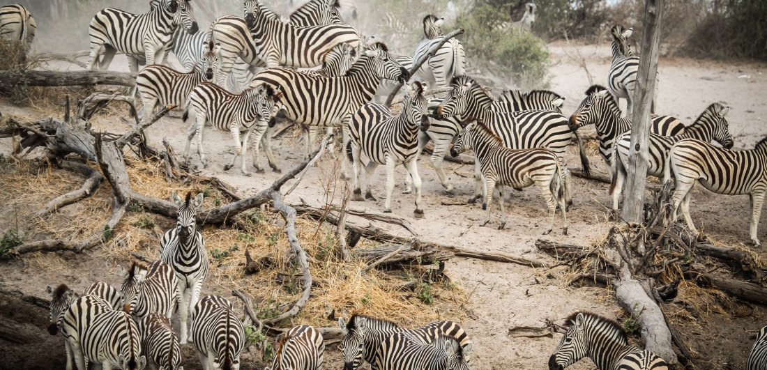 The zebra migration begins when the rains fall - usually around Nov-Dec
