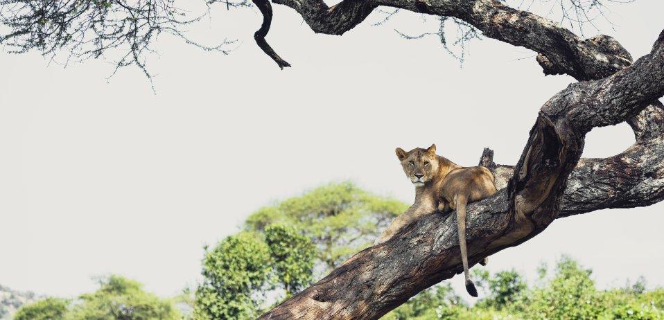Sanctuary swala camp tarangire tanzania safari tree climbing lion
