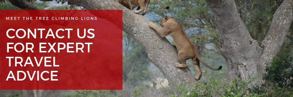 tree climbing lions of east africa