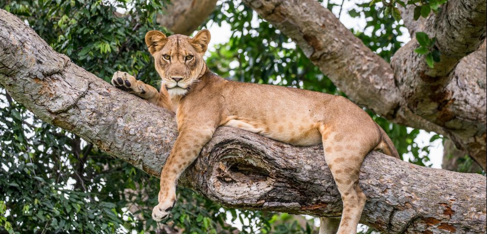 Uganda safari tree climbing lion