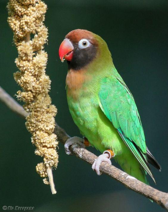 A Zambian lovebird