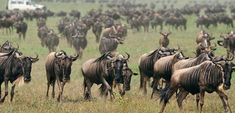 ndutu-safari-lodge-migration