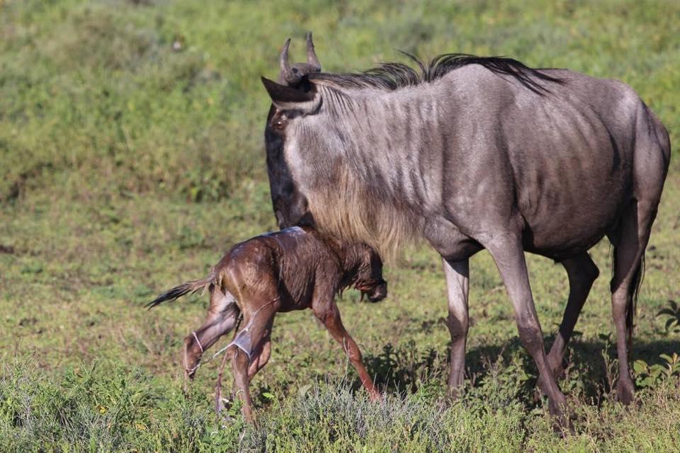 serengeti-calving-season