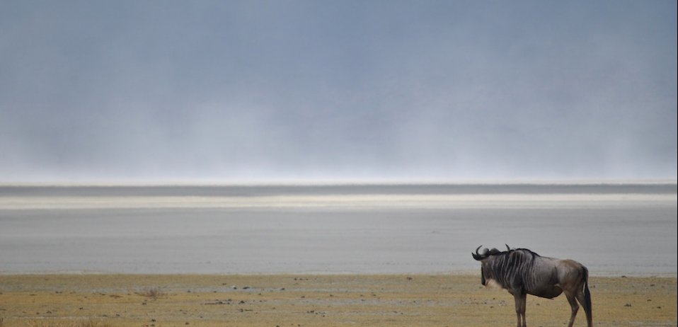lone wildebeest in the serengeti on a great migration safari