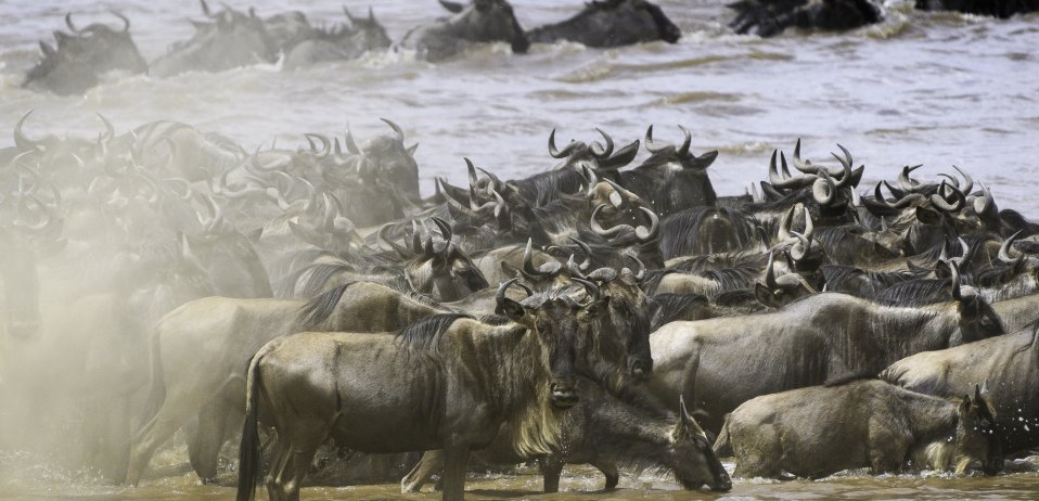 wildebeest migration in the masai mara credit governors il moran camp