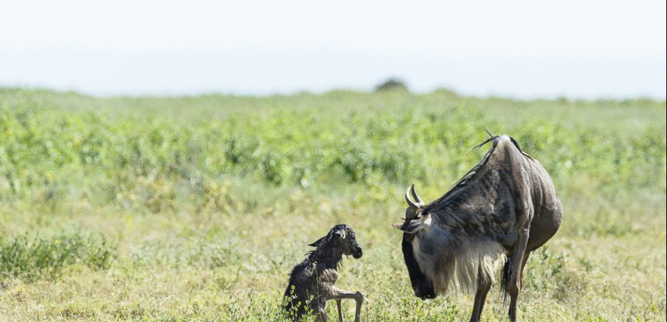 Great migration calving season safari wildebeest calf