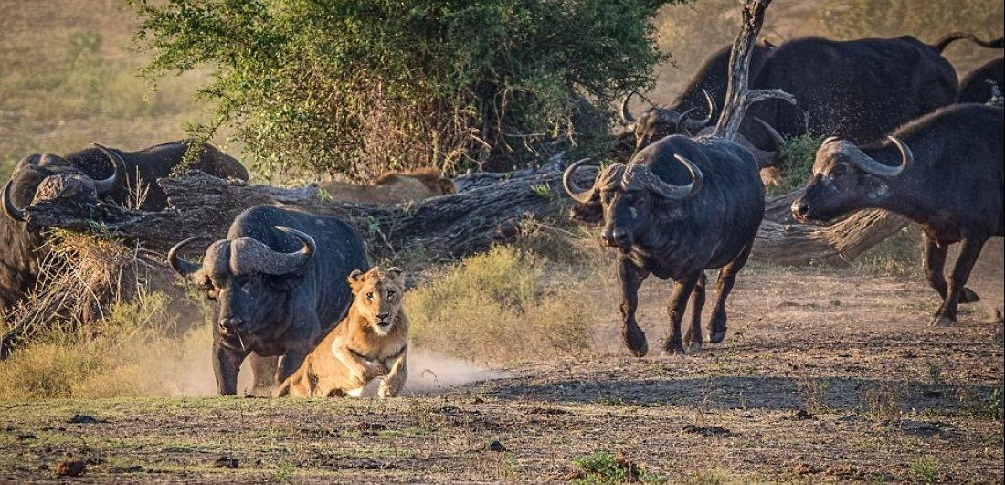 central grasslands kruger national park buffalo and lion