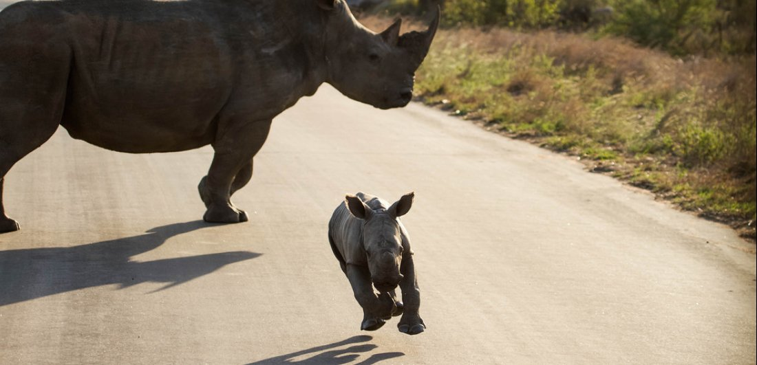 baby rhino chases vehicle southern kruger national park