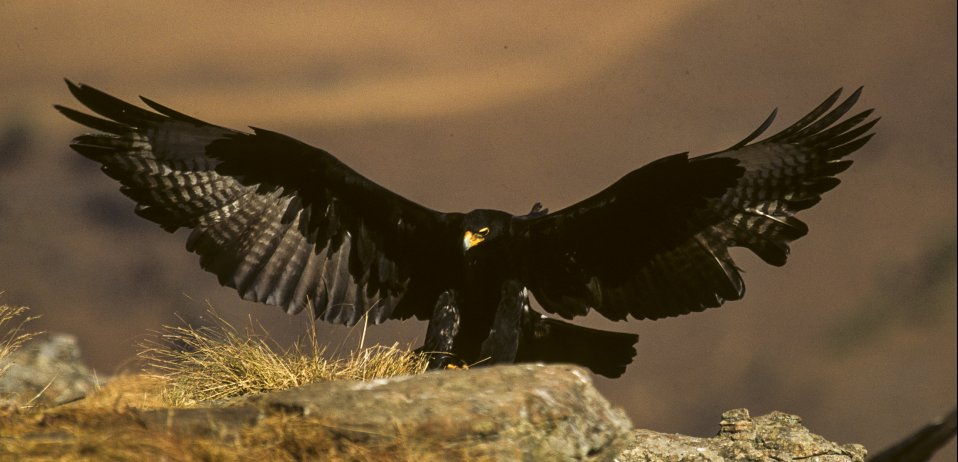 verreaux's eagle african safari bird tour
