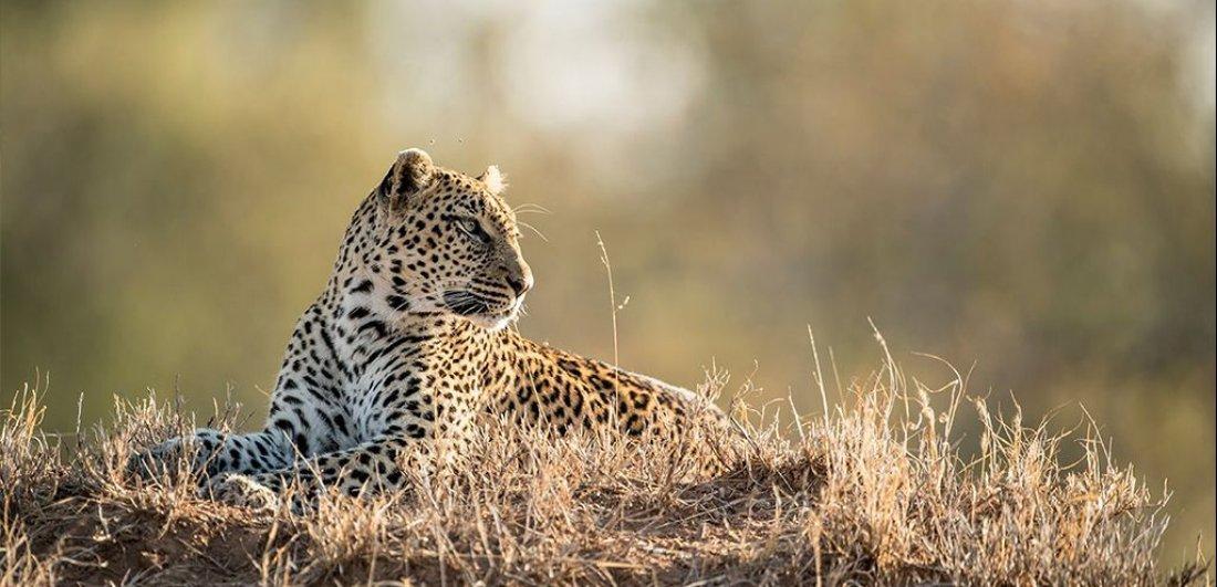 South africa zambia honeymoon safari sabi sands leopard