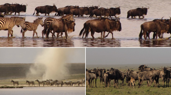 great-migration-in-the-lake-ndutu
