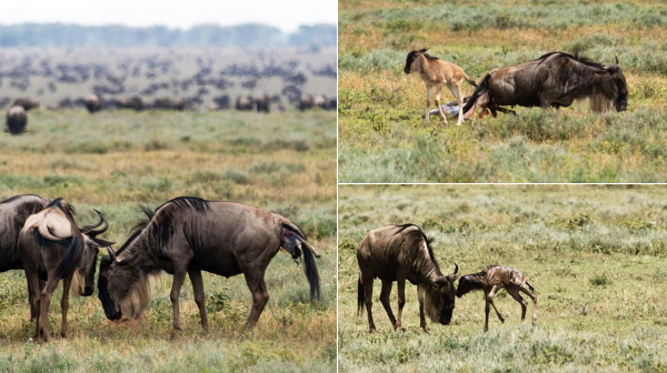 wildebeest-giving-birth