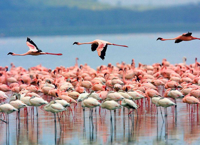 flamingo-kenya-safari