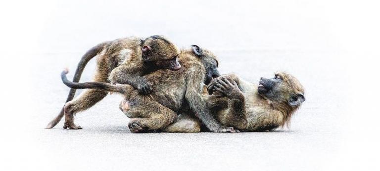 Monkeys playing around