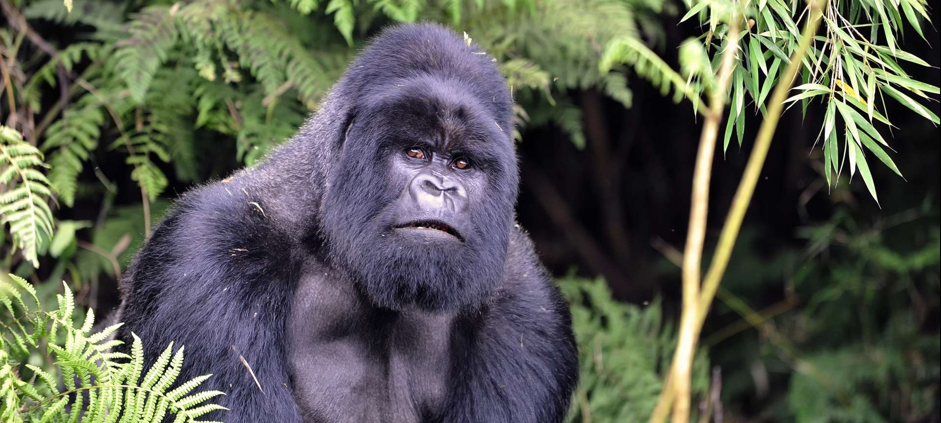 Mountain gorilla trekking in Africa - Africa Wildlife Safaris