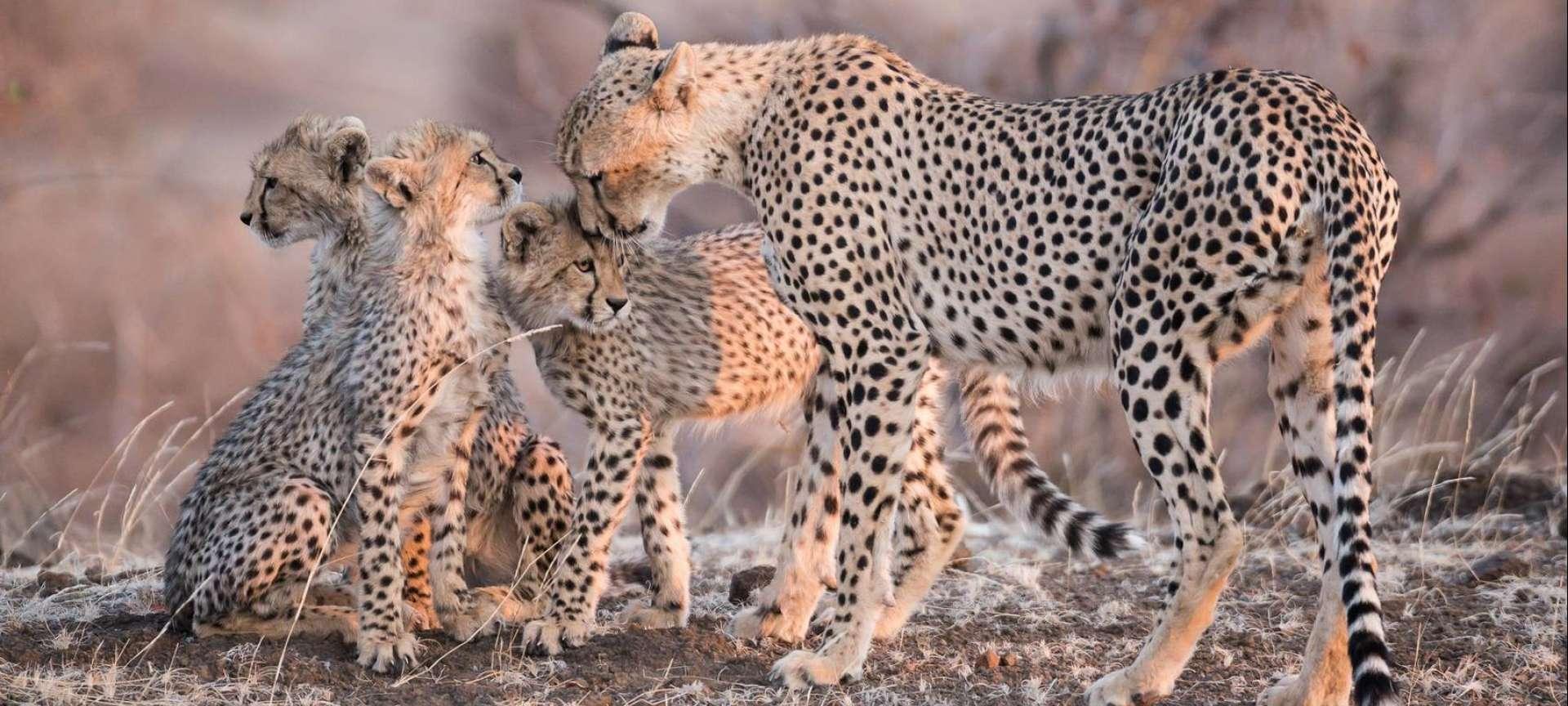 Big cat safaris in Africa - Africa Wildlife Safaris