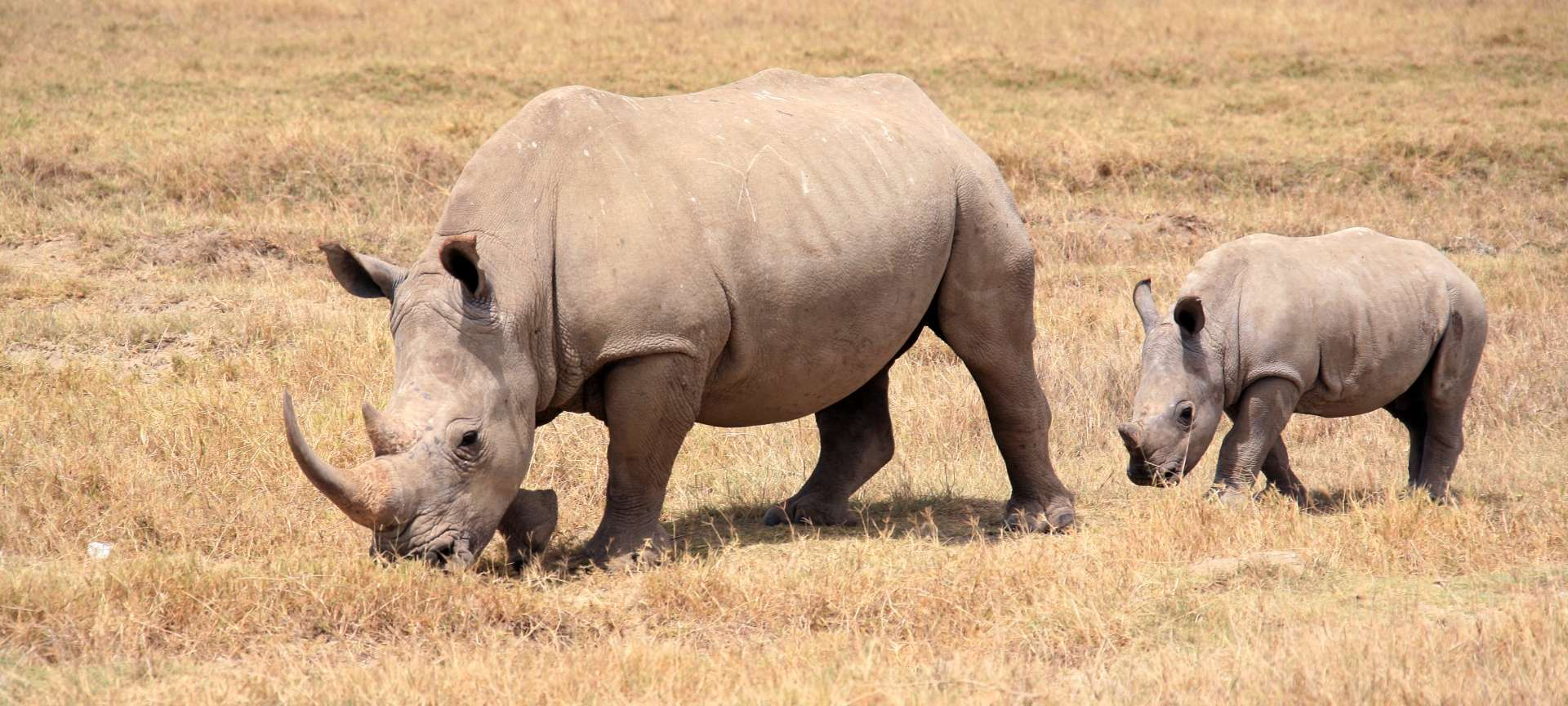 Rhino safaris in Africa - Africa Wildlife Safaris