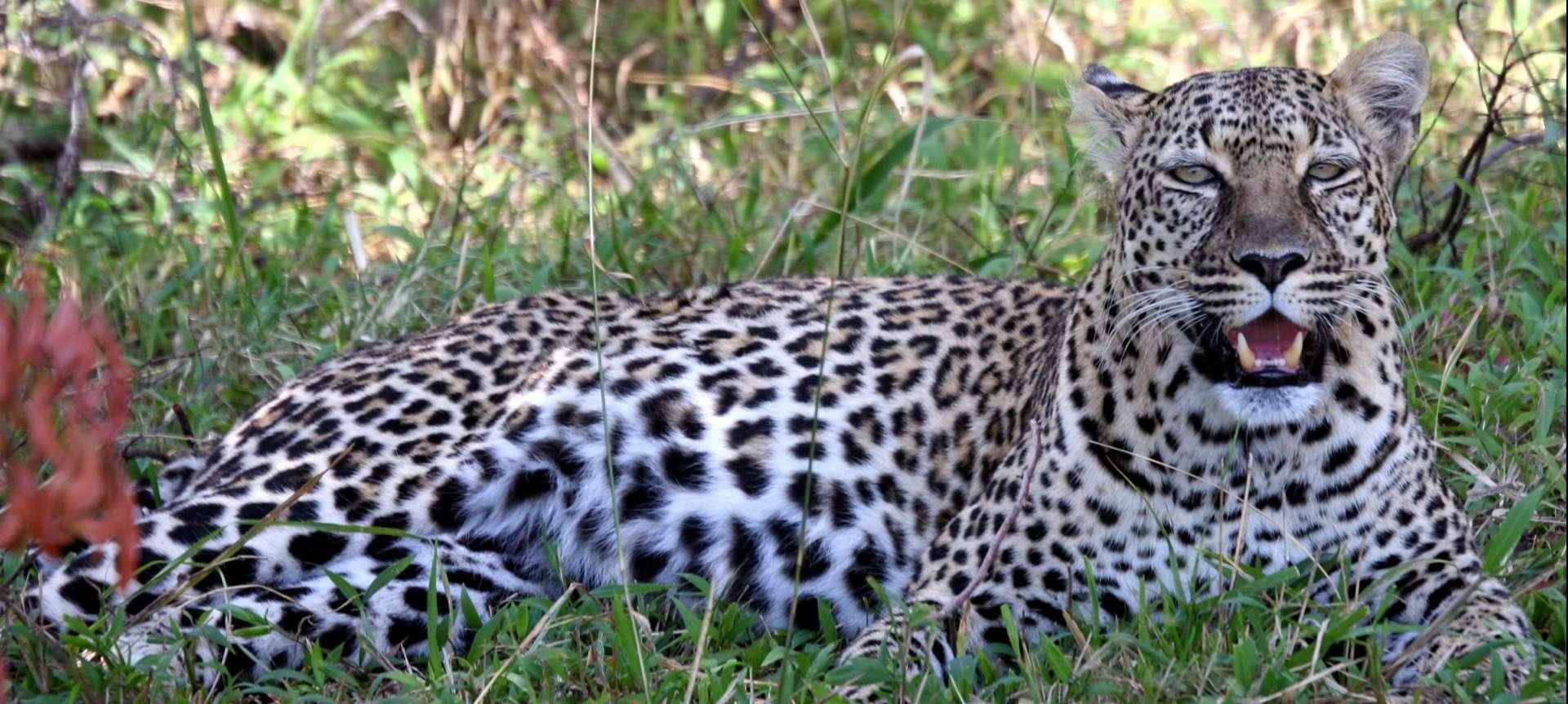 Leopard safaris in Africa - Africa Wildlife Safaris