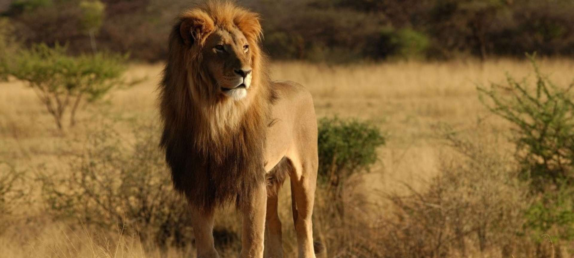 Lion safaris in South Africa - Africa Wildlife Safaris