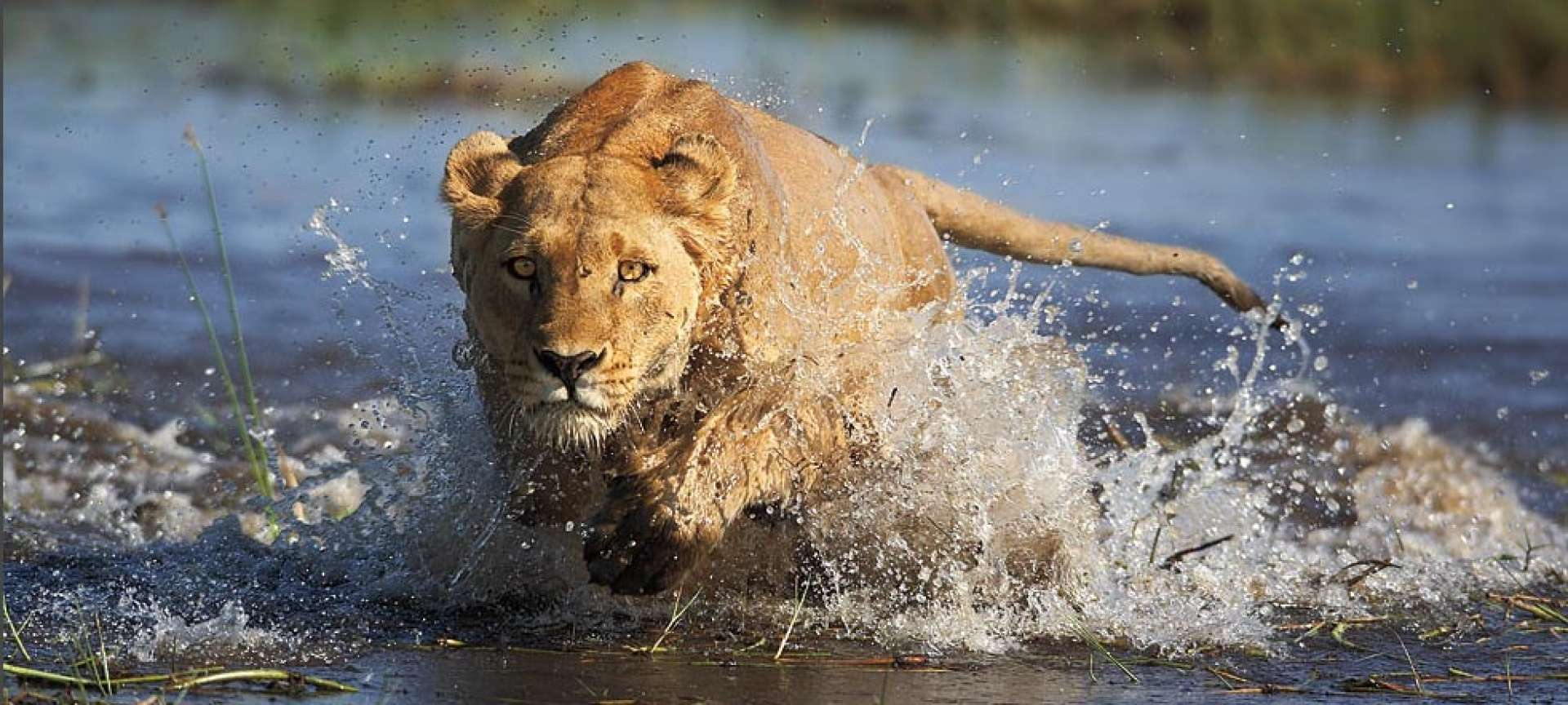 A focused lionness chases down her prey