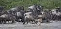River Crossing Wildebeests