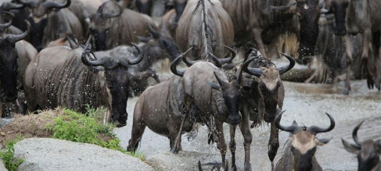 Close up view of Wildebeest