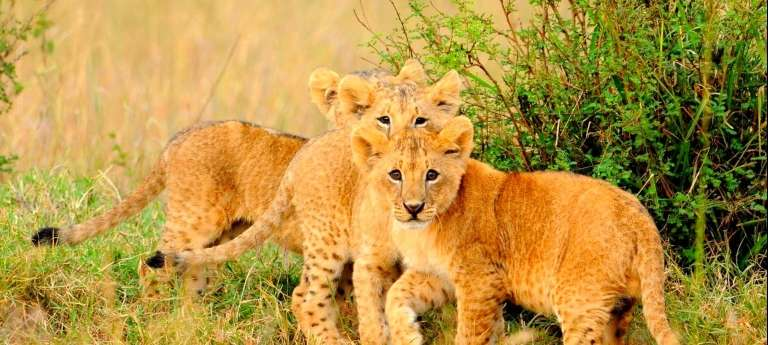 Lion cubs | Kenya's top 3 southern attractions (EA 9 days)