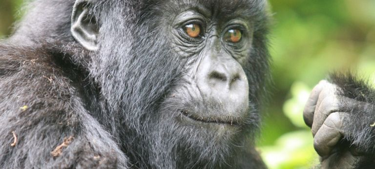 Chimpanzee | Meet the Primates of Uganda and Rwanda (12 days)