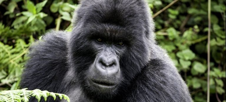 Gorilla trekking and the Great Migration Combined