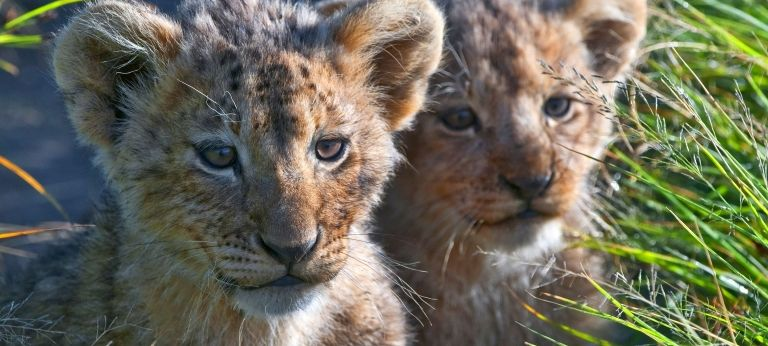 Lion Cubs | The Big Cats of East Africa Safari (10 days)