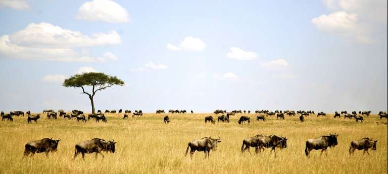 Serengeti Wildebeests in Kenya