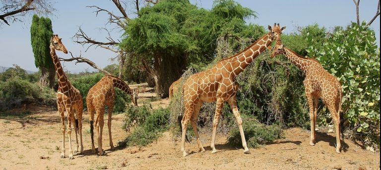 Giraffes | Samburu's Special Five, rhino and bongo (EA 8 days)