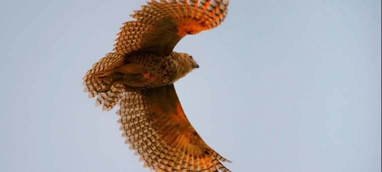 Pel's Fishing Owl in flight
