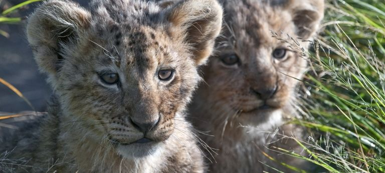 Lion cubs | Affordable Green Season Safari in Tanzania (8 days)