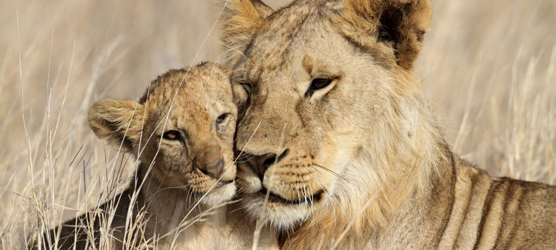 A lioness and her cub are seldom parted