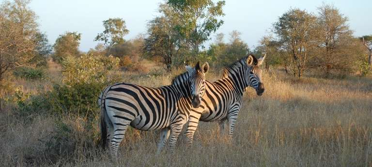 Burchell's zebra is a southern subspecies of the plains zebra