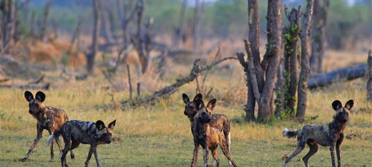 | Delights of Moremi Game Reserve Safari